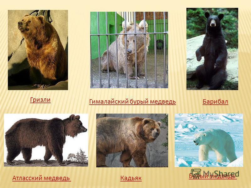 Гризли Кадьяк Гималайский бурый медведь Атласский медведь Барибал Белый медведь