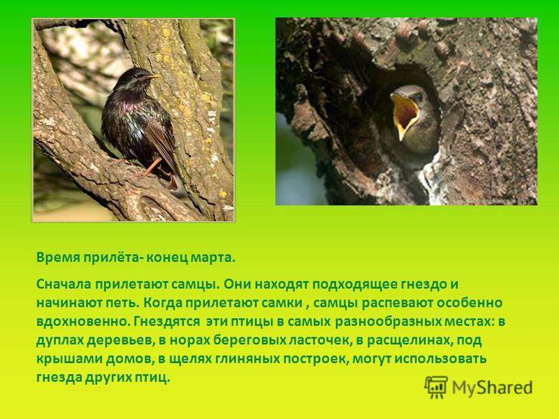 Сначала прилетают самцы. Они находят подходящее гнездо и начинают петь. Когда прилетают самки, самцы распевают особенно вдохновенно. Гнездятся эти птицы в самых разнообразных местах: в дуплах деревьев, в норах береговых ласточек, в расщелинах, под кр