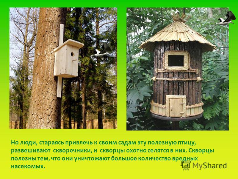Но люди, стараясь привлечь к своим садам эту полезную птицу, развешивают скворечники, и скворцы охотно селятся в них. Скворцы полезны тем, что они уничтожают большое количество вредных насекомых.