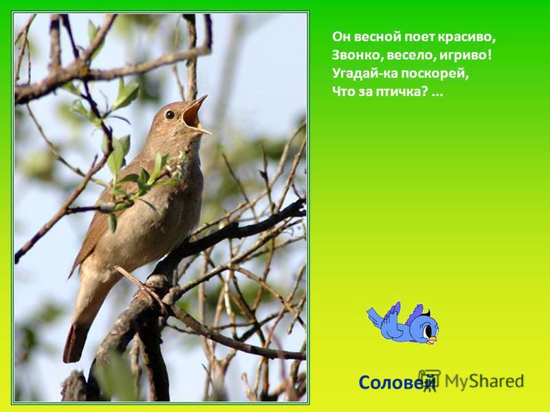 Он весной поет красиво, Звонко, весело, игриво! Угадай-ка поскорей, Что за птичка?... Соловей