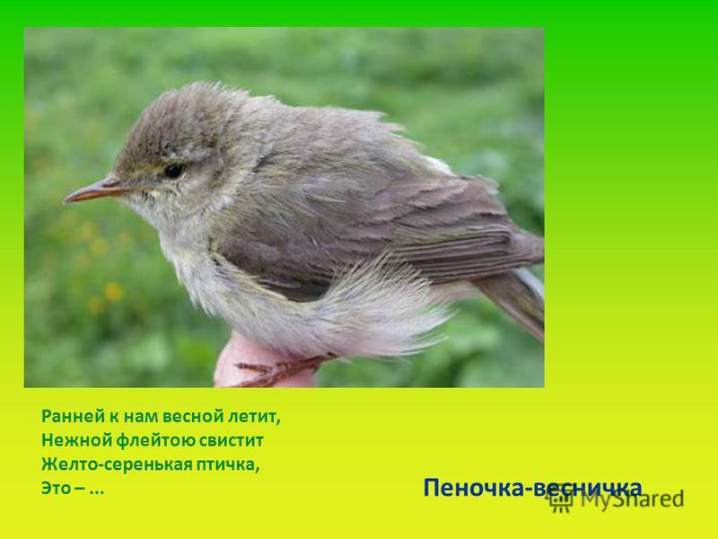 Ранней к нам весной летит, Нежной флейтою свистит Желто-серенькая птичка, Это –... Пеночка-весничка