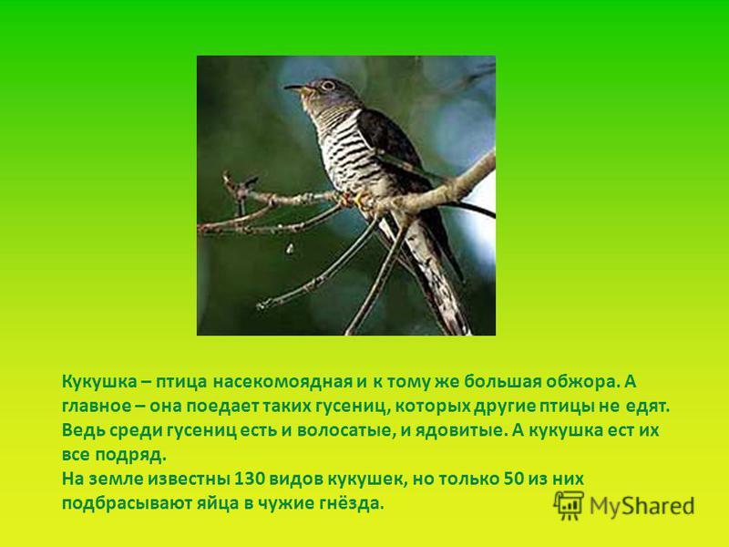 Кукушка – птица насекомоядная и к тому же большая обжора. А главное – она поедает таких гусениц, которых другие птицы не едят. Ведь среди гусениц есть и волосатые, и ядовитые. А кукушка ест их все подряд. На земле известны 130 видов кукушек, но тольк