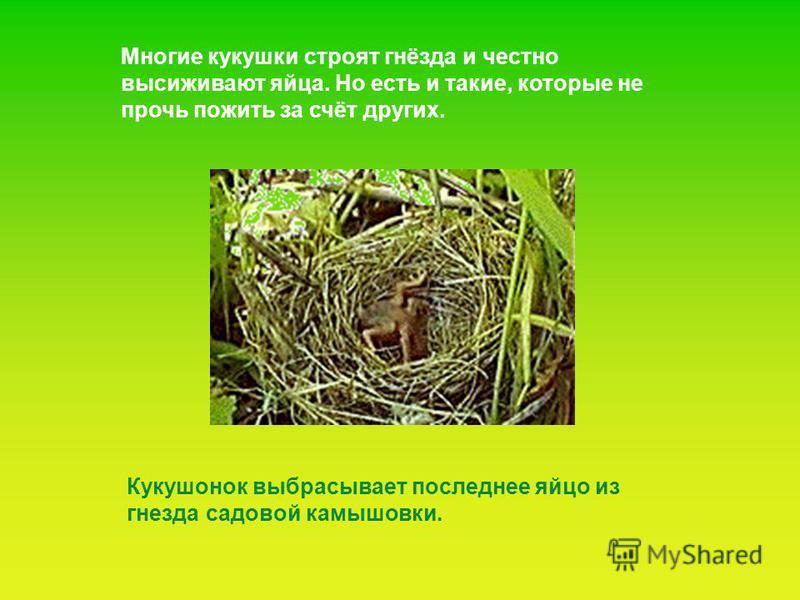 Многие кукушки строят гнёзда и честно высиживают яйца. Но есть и такие, которые не прочь пожить за счёт других. Кукушонок выбрасывает последнее яйцо из гнезда садовой камышовки.