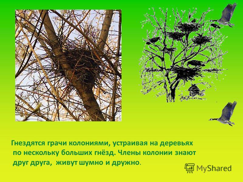 Гнездятся грачи колониями, устраивая на деревьях по нескольку больших гнёзд. Члены колонии знают друг друга, живут шумно и дружно.