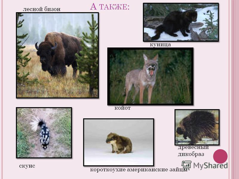 А ТАКЖЕ : лесной бизон скунс короткоухие американские зайцы куница койот древесный дикобраз