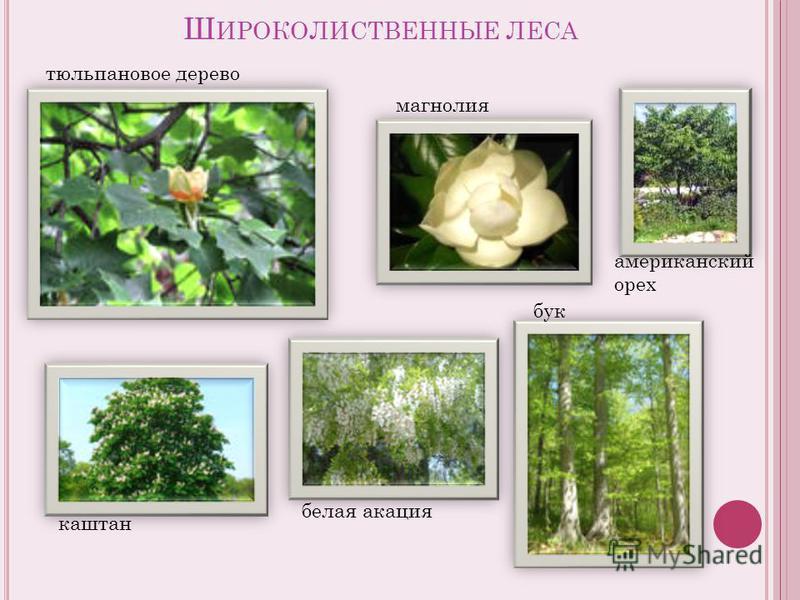 Ш ИРОКОЛИСТВЕННЫЕ ЛЕСА тюльпановое дерево магнолия каштан белая акация бук американский орех