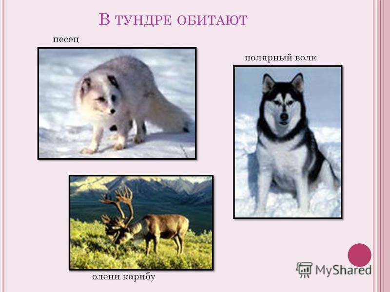 В ТУНДРЕ ОБИТАЮТ песец полярный волк олени карибу