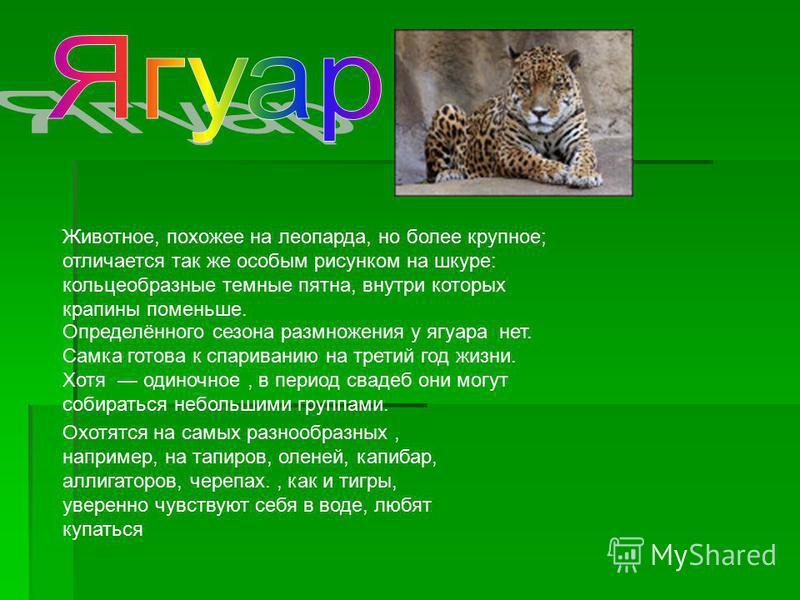 Охотятся на самых разнообразных, например, на тапиров, оленей, капибар, аллигаторов, черепах., как и тигры, уверенно чувствуют себя в воде, любят купаться Определённого сезона размножения у ягуара нет. Самка готова к спариванию на третий год жизни. Х