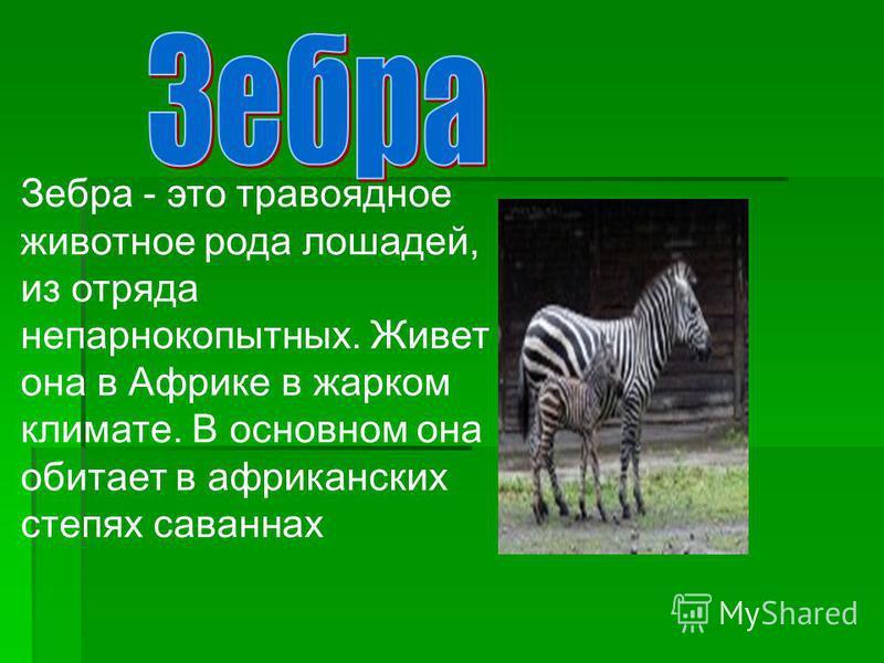 Зебра - это травоядное животное рода лошадей, из отряда непарнокопытных. Живет она в Африке в жарком климате. В основном она обитает в африканских степях саваннах