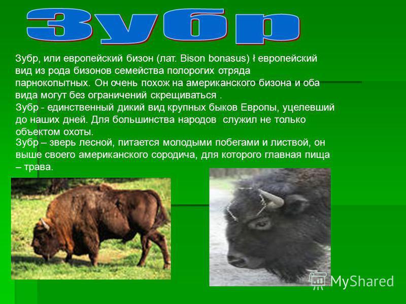 Зубр, или европейский бизон (лат. Bison bonasus) ł европейский вид из рода бизонов семейства полорогих отряда парнокопытных. Он очень похож на американского бизона и оба вида могут без ограничений скрещиваться. Зубр - единственный дикий вид крупных б