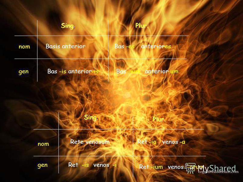 Basis anterior Bas -is -es -ium anterior -is -es -um Rete venosum Ret -is -ia -iumvenos -i -a -orum Sing. Plur. Plur. nom gen