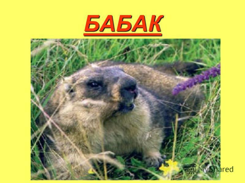 БАБАК