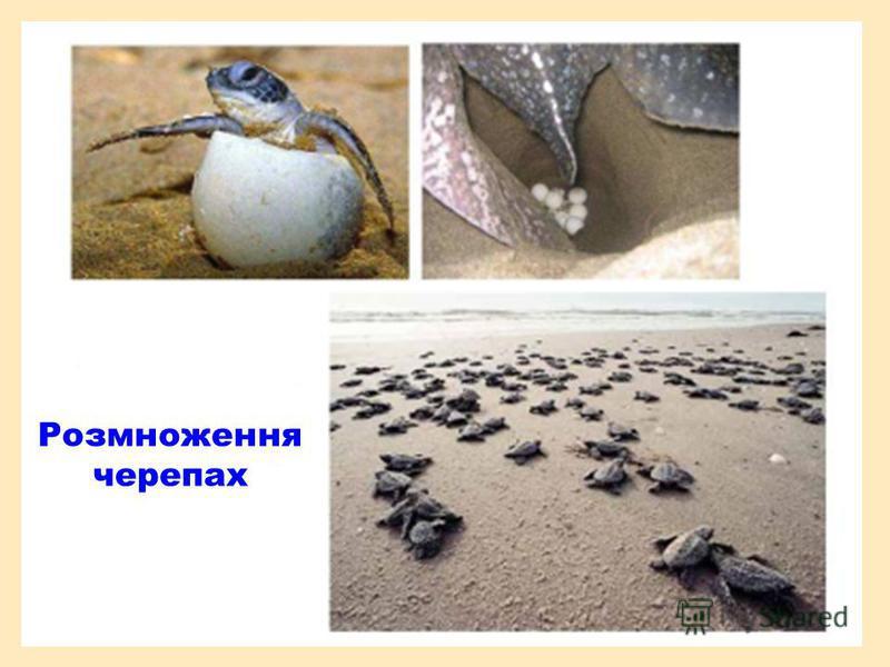 Розмноження черепах
