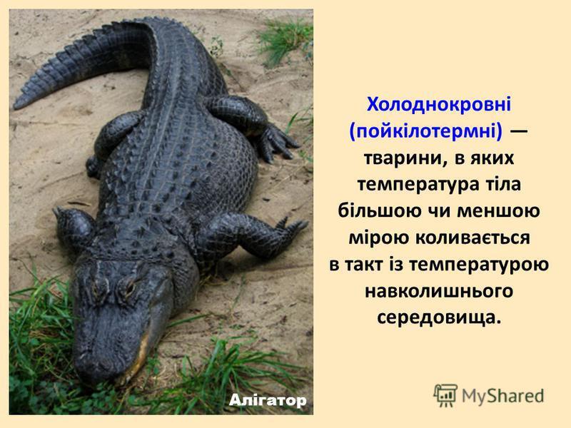 Холоднокровні (пойкілотермні) тварини, в яких температура тіла більшою чи меншою мірою коливається в такт із температурою навколишнього середовища. Алігатор