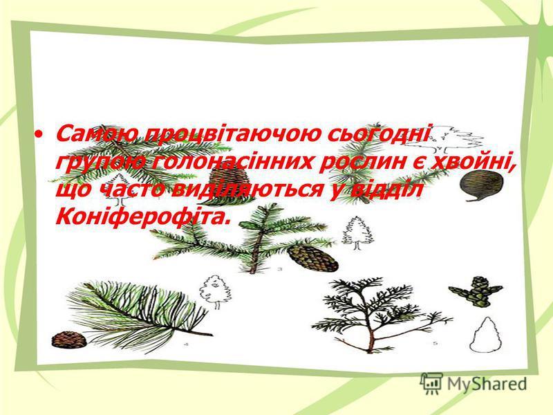 Самою процвітаючою сьогодні групою голонасінних рослин є хвойні, що часто виділяються у відділ Коніферофіта.