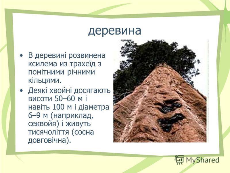 деревина В деревині розвинена ксилема из трахеїд з помітними річними кільцями. Деякі хвойні досягають висоти 50–60 м і навіть 100 м і діаметра 6–9 м (наприклад, секвойя) і живуть тисячоліття (сосна довговічна).