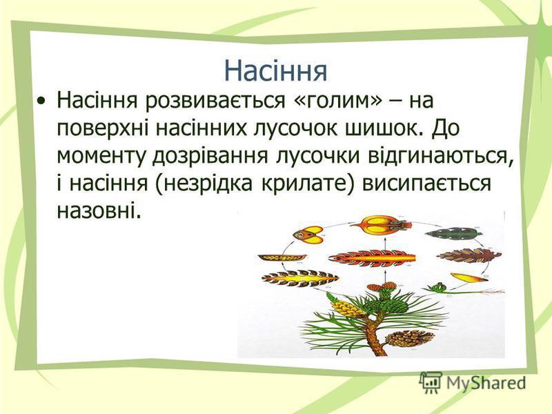 Насіння Насіння розвивається «голим» – на поверхні насінних лусочок шишок. До моменту дозрівання лусочки відгинаються, і насіння (незрідка крилате) висипається назовні.