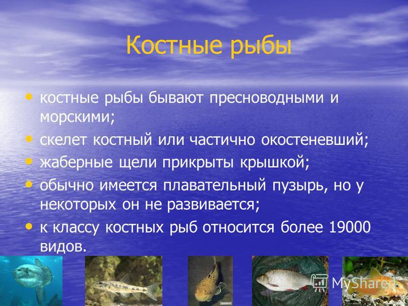 Костные рыбы костные рыбы бывают пресноводными и морскими; скелет костный или частично окостеневший; жаберные щели прикрыты крышкой; обычно имеется плавательный пузырь, но у некоторых он не развивается; к классу костных рыб относится более 19000 видо