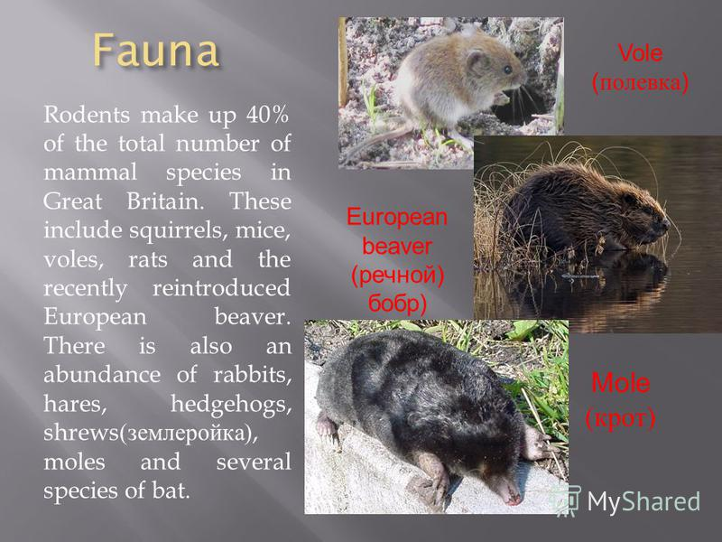 Fauna Rodents make up 40% of the total number of mammal species in Great Britain. These include squirrels, mice, voles, rats and the recently reintroduced European beaver. There is also an abundance of rabbits, hares, hedgehogs, shrews( землеройка ),