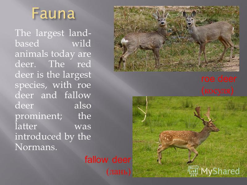 Fauna The largest land- based wild animals today are deer. The red deer is the largest species, with roe deer and fallow deer also prominent; the latter was introduced by the Normans. roe deer ( косуля ) fallow deer (лань)