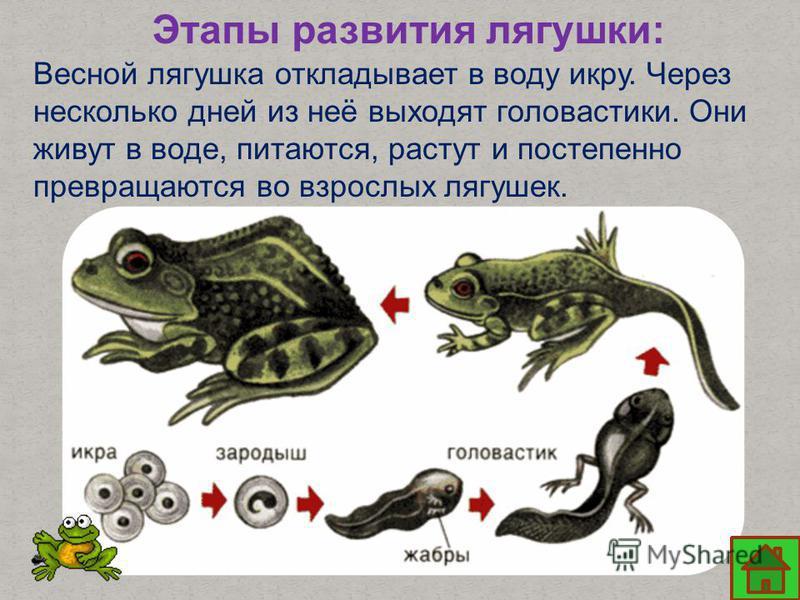 Этапы развития лягушки: Весной лягушка откладывает в воду икру. Через несколько дней из неё выходят головастики. Они живут в воде, питаются, растут и постепенно превращаются во взрослых лягушек.