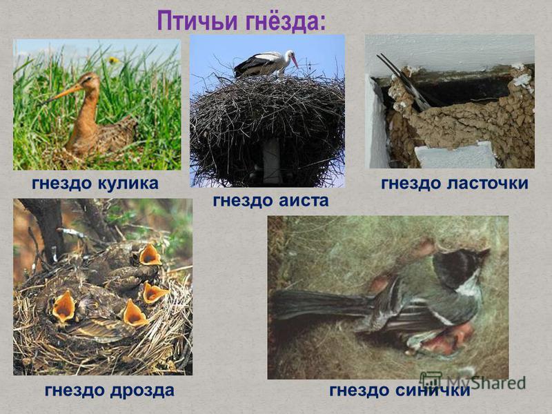 Птичьи гнёзда: гнездо кулика гнездо ласточки гнездо дрозда гнездо синички гнездо аиста