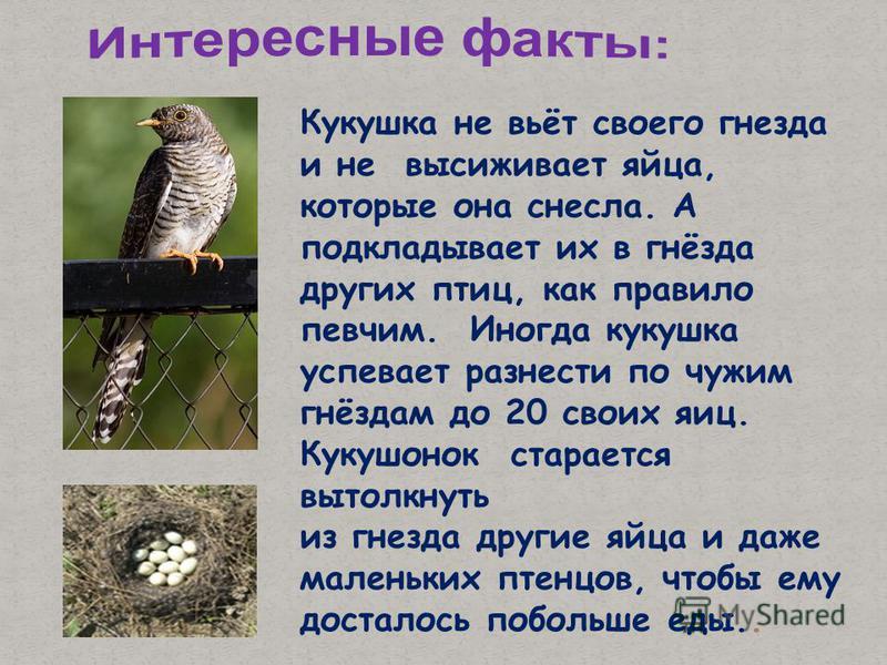 Кукушка не вьёт своего гнезда и не высиживает яйца, которые она снесла. А подкладывает их в гнёзда других птиц, как правило певчим. Иногда кукушка успевает разнести по чужим гнёздам до 20 своих яиц. Кукушонок старается вытолкнуть из гнезда другие яйц