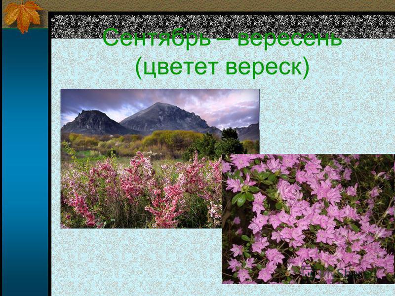 Сентябрь – вересень (цветет вереск)