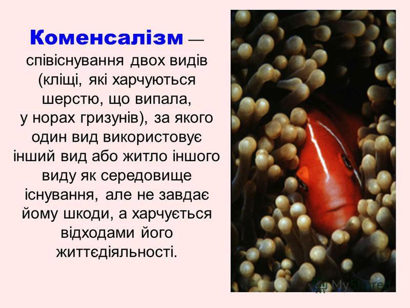 Коменсалізм співіснування двох видів (кліщі, які харчуються шерстю, що випала, у норах гризунів), за якого один вид використовує інший вид або житло іншого виду як середовище існування, але не завдає йому шкоди, а харчується відходами його життєдіяль