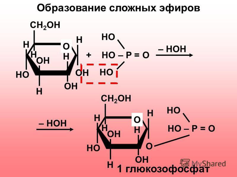 CH 2 OH H H OH O H HO H OH H + HO – P = O HO CH 2 OH H H OH O H HO H OH H O HO – P = O HO – HOH Образование сложных эфиров 1 глюкозофосфат