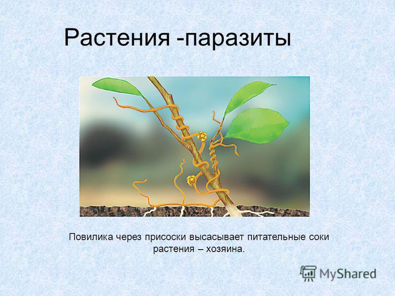 Растения -паразиты Повилика через присоски высасывает питательные соки растения – хозяина.