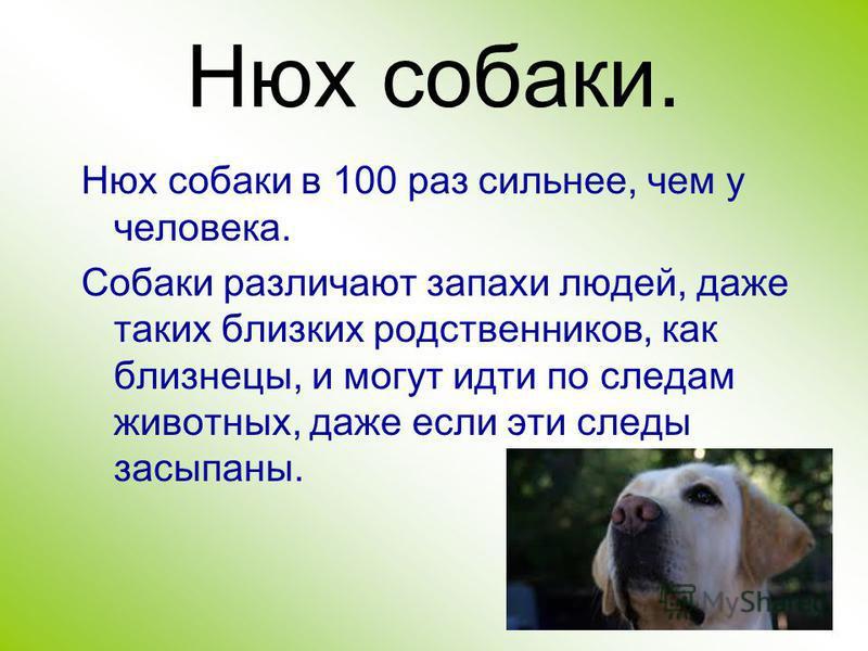 Нюх собаки. Нюх собаки в 100 раз сильнее, чем у человека. Собаки различают запахи людей, даже таких близких родственников, как близнецы, и могут идти по следам животных, даже если эти следы засыпаны.