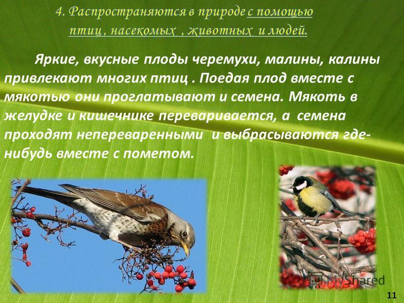Яркие, вкусные плоды черемухи, малины, калины привлекают многих птиц. Поедая плод вместе с мякотью они проглатывают и семена. Мякоть в желудке и кишечнике переваривается, а семена проходят непереваренными и выбрасываются где- нибудь вместе с пометом.