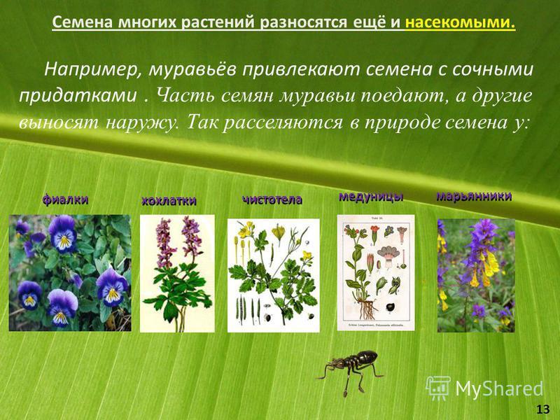 Семена многих растений разносятся ещё и насекомыми. Например, муравьёв привлекают семена с сочными придатками. Часть семян муравьи поедают, а другие выносят наружу. Так расселяются в природе семена у: фиалки хохлатки чистотела медуницы марьянники 13