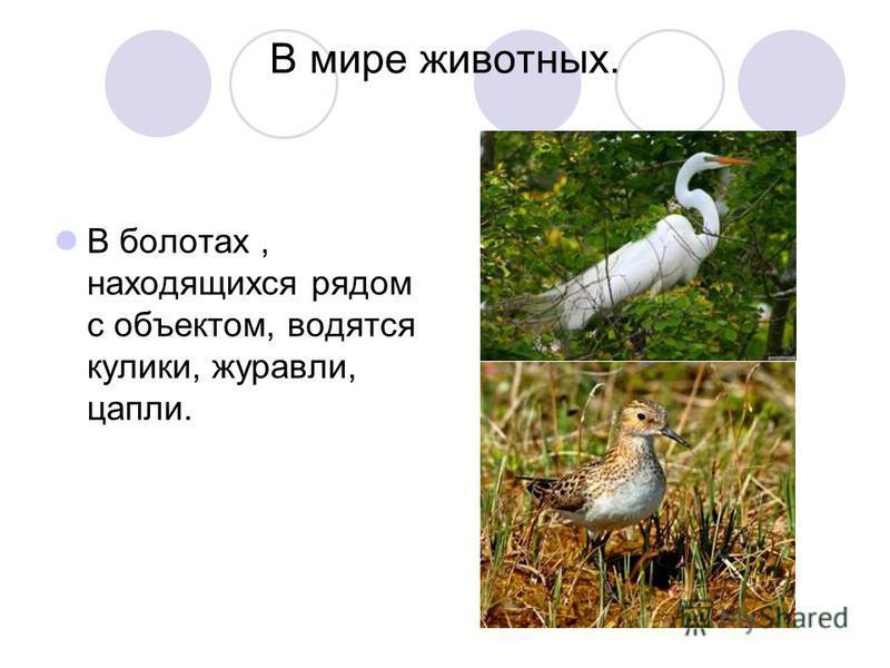 В мире животных. В болотах, находящихся рядом с объектом, водятся кулики, журавли, цапли.