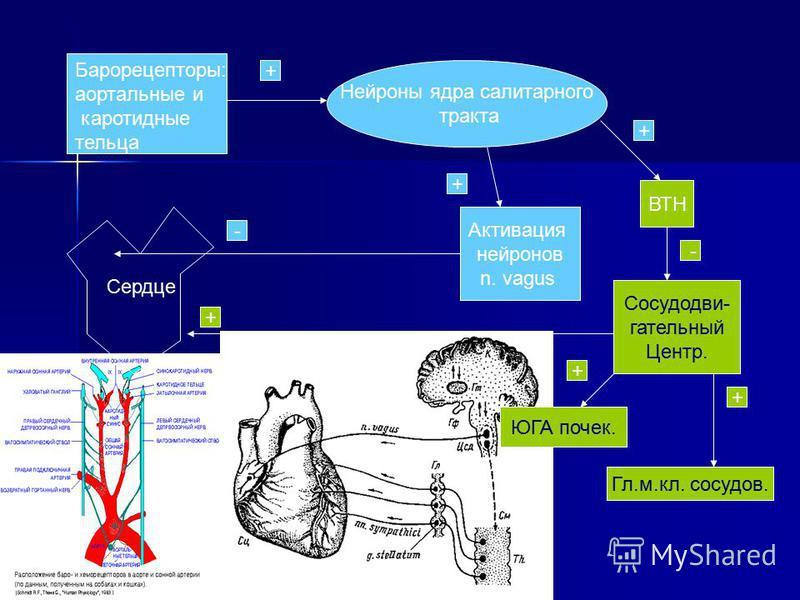 Барорецепторы: аортальные и каротыдные тельца Нейроны ядра солитарного тракта ВТН Сосудодви- гательный Центр. Гл.м.кл. сосудов. ЮГА почек. Сердце Актывация нейронов n. vagus + + + - - + + +