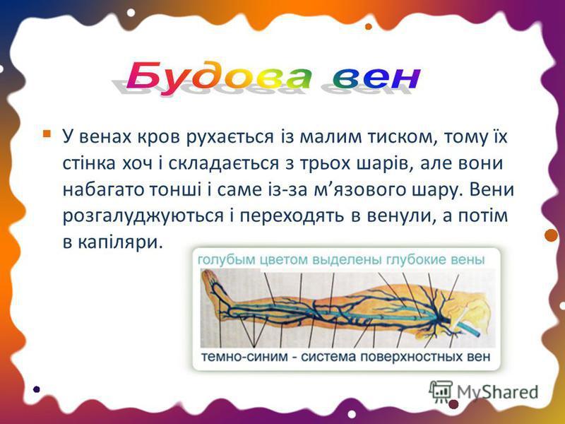 У венах кров рухається із малим тиском, тому їх стінка хоч і складається з трьох шарів, але вони набагато тонші і саме із-за мязового шару. Вени розгалуджуються і переходять в венули, а потім в капіляри.