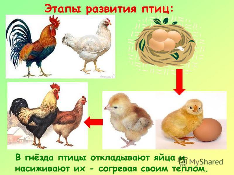 Этапы развития птиц: В гнёзда птицы откладывают яйца и насиживают их - согревая своим теплом.
