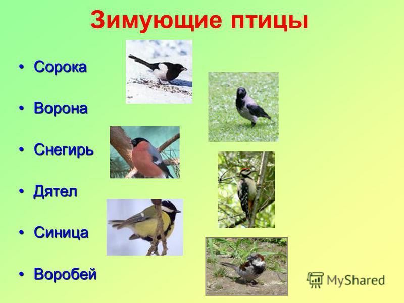 Зимующие птицы Сорока Сорока Ворона Ворона Снегирь Снегирь Дятел Дятел Синица Синица Воробей Воробей