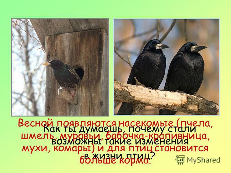 Как ты думаешь, почему стали возможны такие изменения в жизни птиц? Весной появляются насекомые (пчела, шмель, муравьи, бабочка-крапивница, мухи, комары) и для птиц становится больше корма.