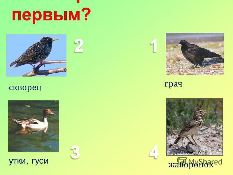 грач жаворонок скворец утки, гуси