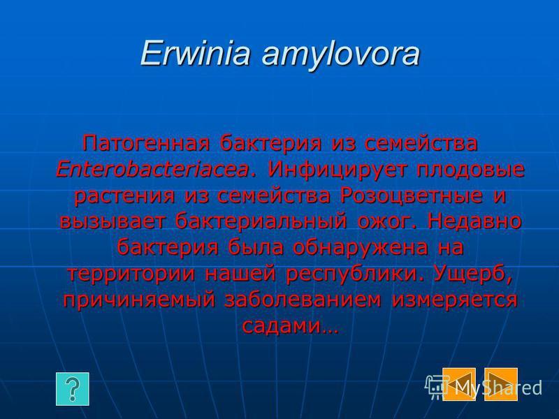 Erwinia amylovora Патогенная бактерия из семейства Enterobacteriacea. Инфицирует плодовые растения из семейства Розоцветные и вызывает бактериальный ожог. Недавно бактерия была обнаружена на территории нашей республики. Ущерб, причиняемый заболевание