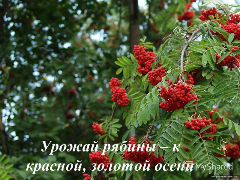 Урожай рябины – к красной, золотой осени