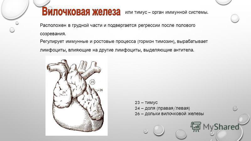 или тимус – орган иммунной системы. Расположен в грудной части и подвергается регрессии после полового созревания. 23 – тимус 24 – доля ( правая / левая ) 26 – дольки вилочковой железы Регулирует иммунные и ростовые процесса ( гормон тимозин ), выраб