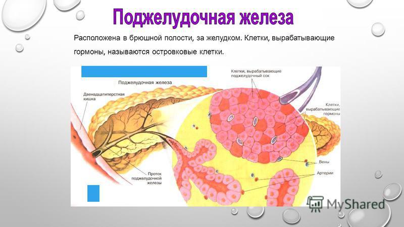 Расположена в брюшной полости, за желудком. Клетки, вырабатывающие гормоны, называются островковые клетки.