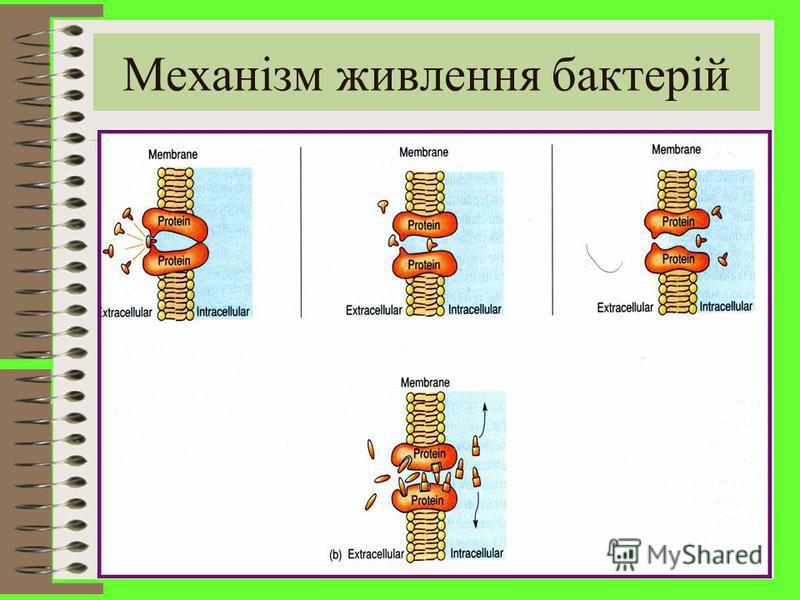Пасивна дифузія - градієнт концентрації речовини всередині бактеріальної клітини та зовні. Вона відбувається пасивно, тому що не вимагає затрат енергії. Полегшена дифузія здійснюється за рахунок особливих білків - пермеаз, які містяться в цитоплазмат