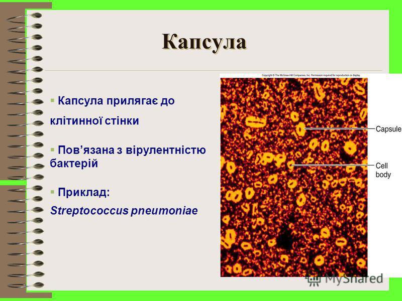 Глікокалікс Капсула Захищає бактерії від фагоцитозу Слизовий шар Забезпечує прикріплення та агрегацію бактерій