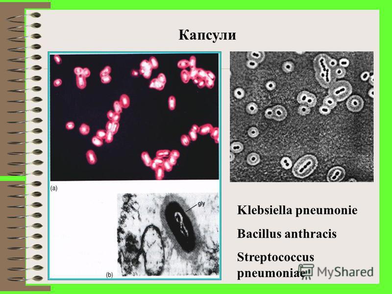 Біоплівки Слизовий шар асоціюється з агрегацією клітин і формуванням біоплівок Приклад: Плівка із Staphylococcus epidermidis на поверхні катетера