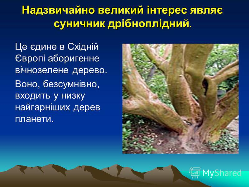Надзвичайно великий інтерес являє суничник дрібноплідний. Це єдине в Східній Європі аборигенне вічнозелене дерево. Воно, безсумнівно, входить у низку найгарніших дерев планети.