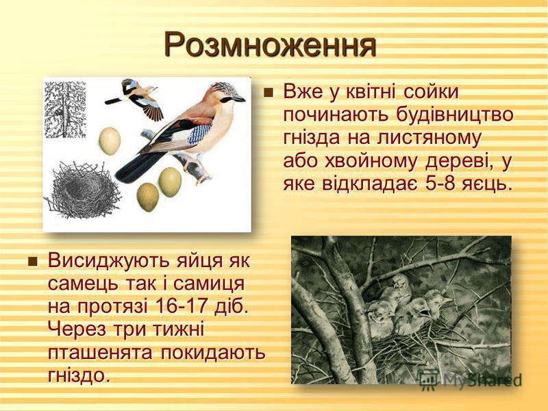 Розмноження n Висиджують яйця як самець так і самиця на протязі 16-17 діб. Через три тижні пташенята покидають гніздо. n Вже у квітні сойки починають будівництво гнізда на листяному або хвойному дереві, у яке відкладає 5-8 яєць.